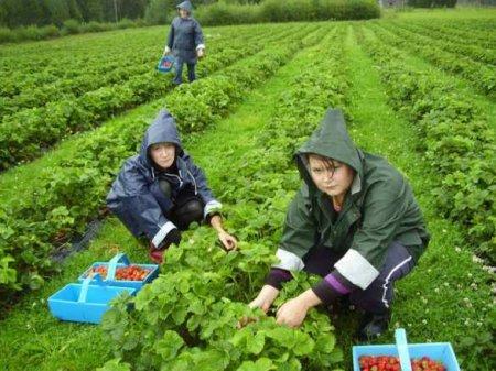 Украина, вперёд! — Принц Чарльз зовёт собирать клубнику (ВИДЕО)