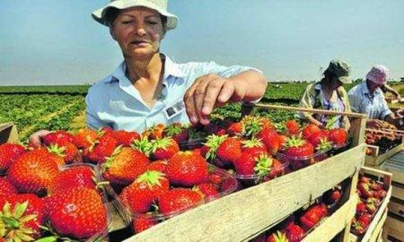 Урожай под угрозой: Эстонские фермеры просят вернуть украинских «рабов» на  ...