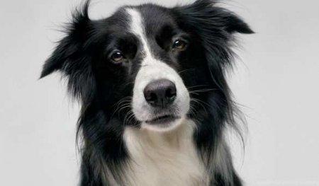 Учёные научили собак определять больных коронавирусом