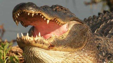 Учёные рассказали онеобычной способности аллигаторов (ФОТО)