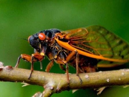 Миллиарды насекомых выбрались из-под земли вСШАвпервы ...